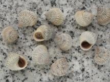 Tectarius muricatus