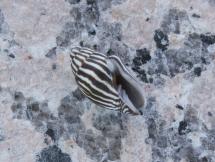 Mitra paupercula