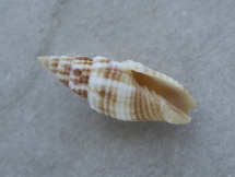 Mitra swainsoni antillensis
