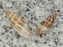 Mitra variabilis