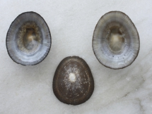 Cellana karachiensis