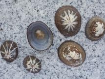 Cellana stellifera