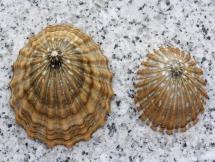 Cellana strigilis redimiculum