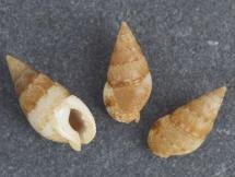Nassarius macrodon recidivus