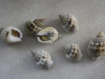 Nassarius (Plicarcularia) fissilabris