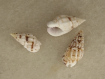Nassarius caboverdensis