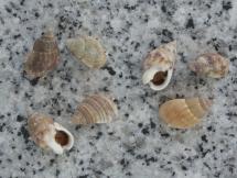 Nassarius gaudiosus