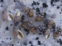 Nassarius granum