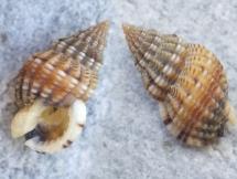 Nassarius incrassatus