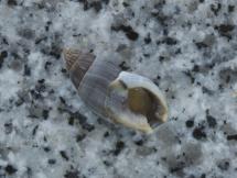 Nassarius melanioides