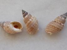 Nassarius particeps