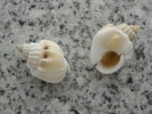 Nassarius arcularius