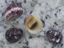 Neripteron siquijorense