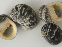 Nerita crassa