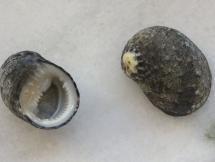 Nerita fragum