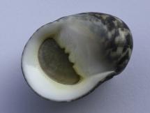 Nerita maxima
