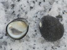 Nerita ocellata