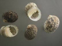 Nerita quadricolor