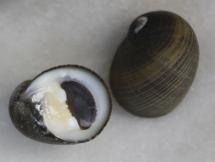 Nerita senegalensis