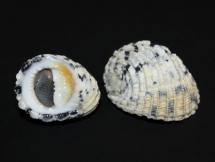Nerita textilis