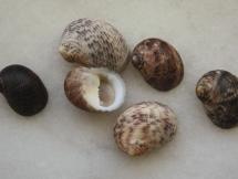 Nerita undulata