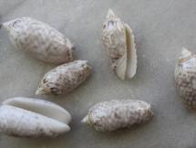 Oliva reticularis