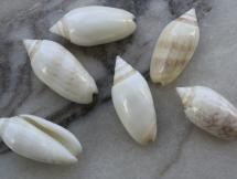 Oliva reticularis olorinella
