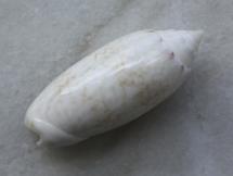 Oliva fulgurator aldinia