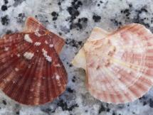 Aequipecten opercularis audouinii