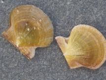 Flexochlamys hyalinus