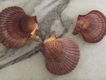 Mimachlamys asperrima