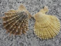 Scaeochlamys livida