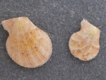 Talochlamys multistriata
