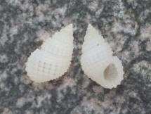 Alvania cimex f. lactea