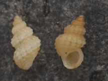 Alvania grancanariensis