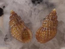 Alvania hispidula