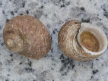 Hybochelus cancellatus