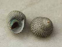 Austrocochlea adelaidae