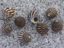 Austrocochlea brevis