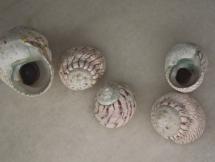 Austrocochlea zeus
