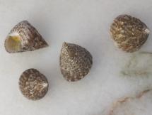 Calthalotia arruensis