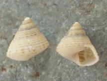 Clelandella miliaris