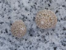 Monilea callifera