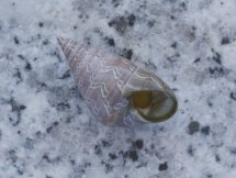 Phasianotrochus bellulus