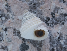 Tectarius grandinatus