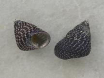 Thalotia conica