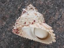 Astraea caelata