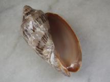Cymbiola nivosa