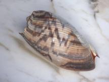 Cymbium marmoratum